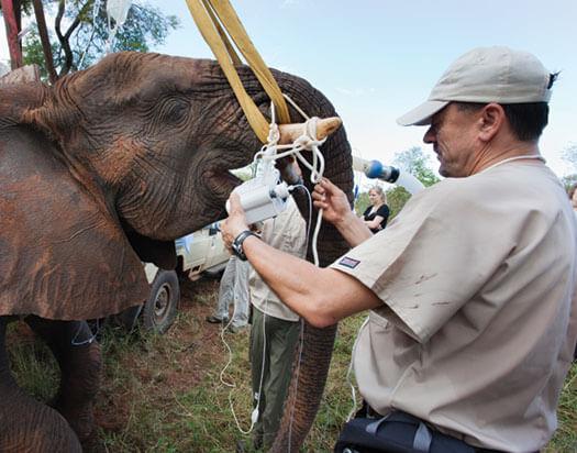 elephant sedated