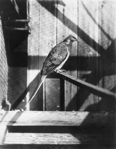 A cagemate of Martha, the last surviving passenger pigeon, is shown in this photograph taken in the late 1800s. Researchers are almost certain that Martha was born in Wisconsin, but she ultimately died in a Cincinnati zoo in 1914, bringing to a close an astounding story of abundance and extinction in America's history. Courtesy of Wisconsin Historical Society 53459