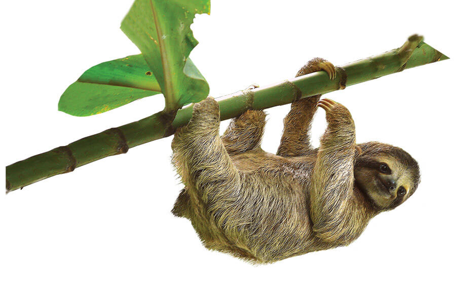 Three-toed sloths risk life and limb to go to the bathroom, but the act is a mutually beneficial one for the slow-moving animal and the moths that hitch a ride … to the forest floor. Photo: Istock.