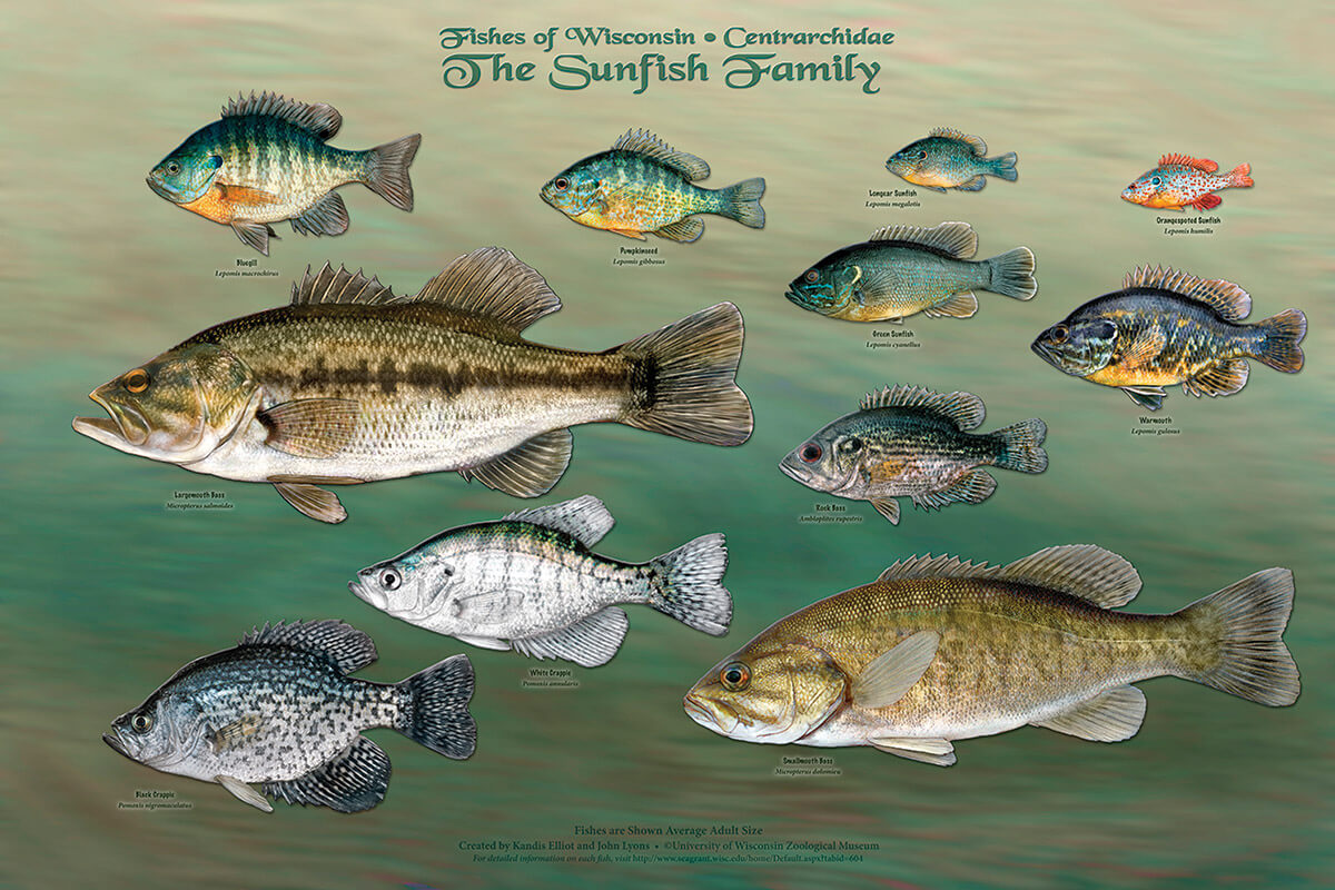 Fishes of Wisconsin: The sunfish family