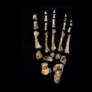 Skeletal foot from Homo naledi find
