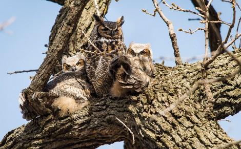campus owls