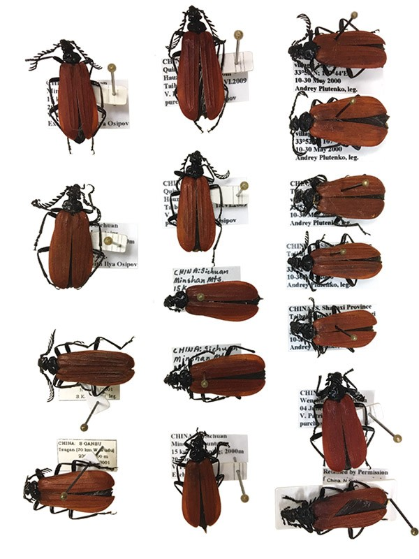 Overhead shot of pinned beetle specimens each with detailed label.