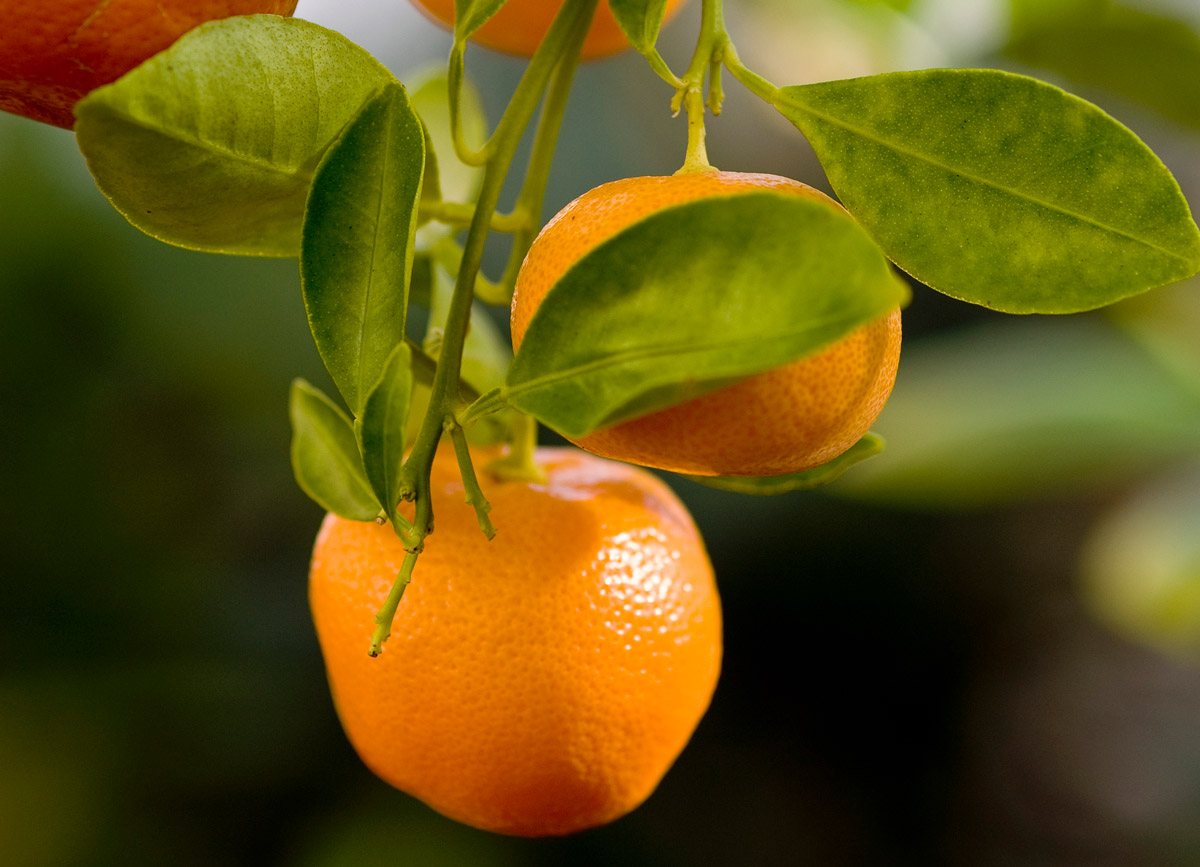 Close-up of oranges hanging from tree.