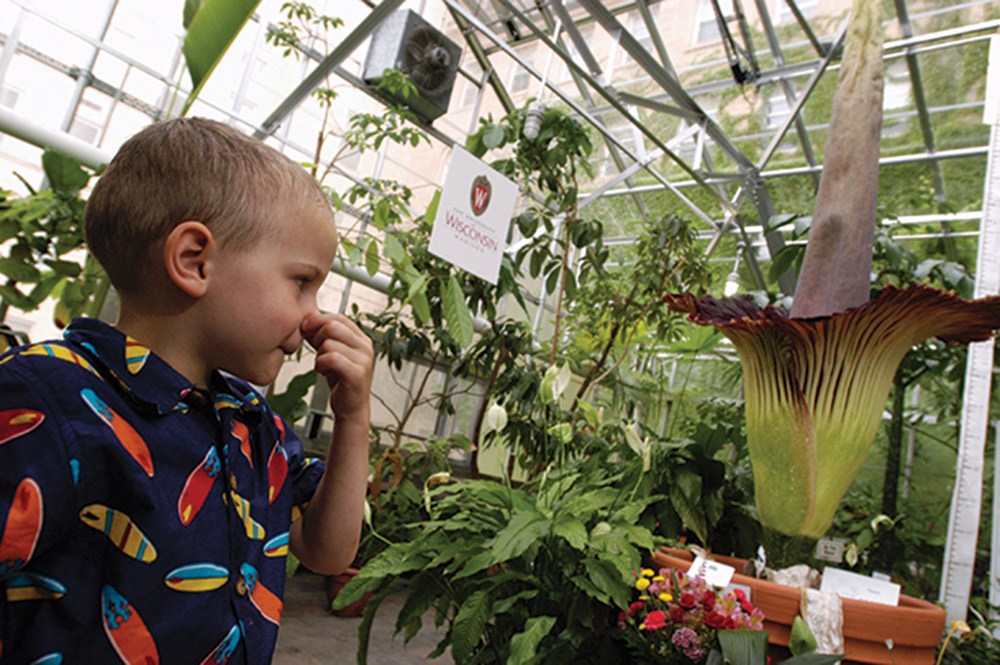Young boy holds his nose while looking at the giant corpse flower in the UW Botany Greenhouse.