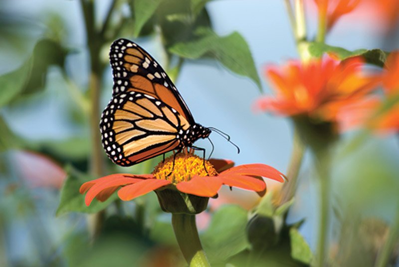 Monarch butterfly perches on orange flower