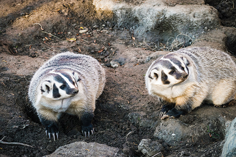 Two Badgers at the Henry Vilas Zoo