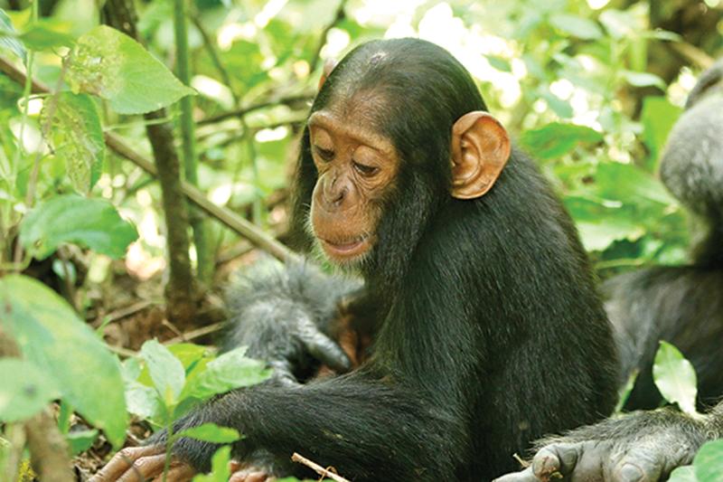 A chimpanzee sits among green leafy plants