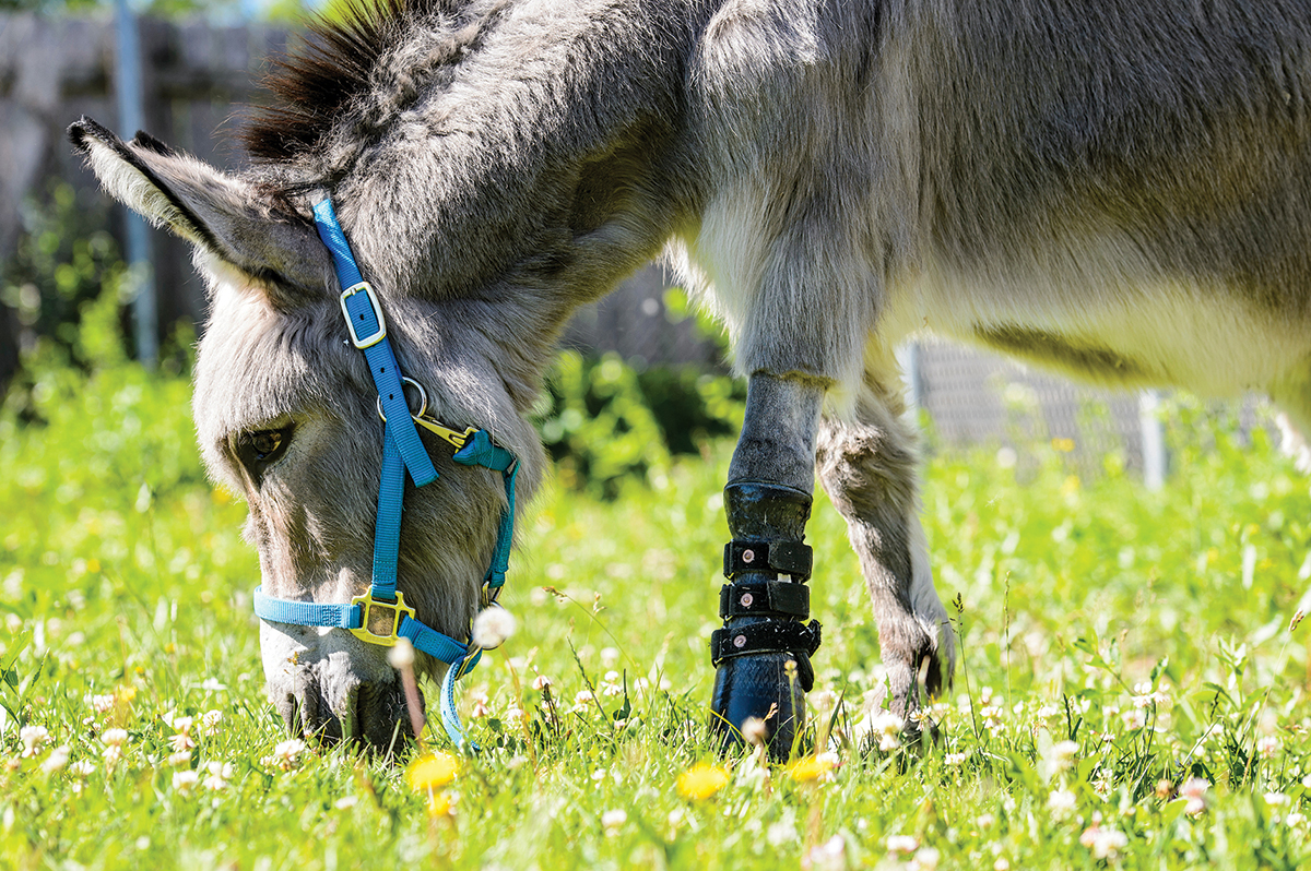 Ferguson the donkey is pictured wearing a prothetic leg