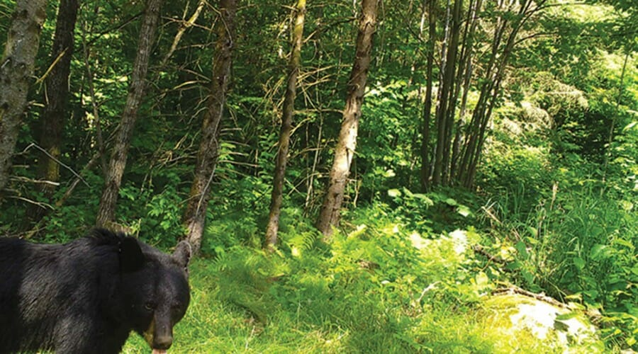 Bear passes through forest