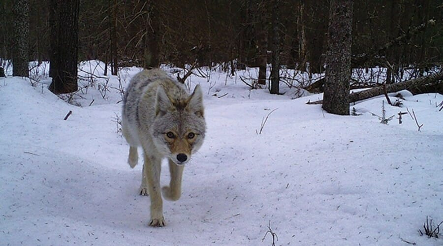 Coyote passes over snow-covered ground