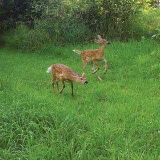 Fawns frolic in the grass