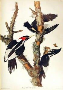 John J. Audubon's Ivory-Billed Woodpecker