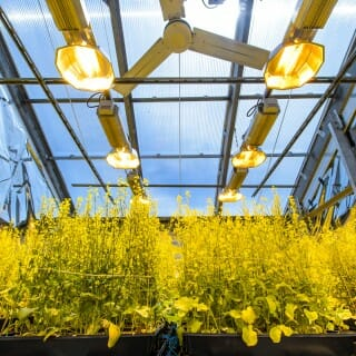 Rows of plants under lights in a greenhouse at UW–Madison