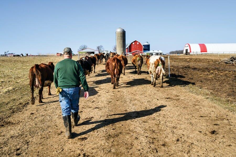 Bert Paris with herd of cows on his dairy farm