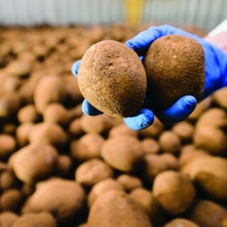 Researcher holds potatoes