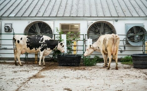 Two dairy cows graze at agricultural facility on the UW campus