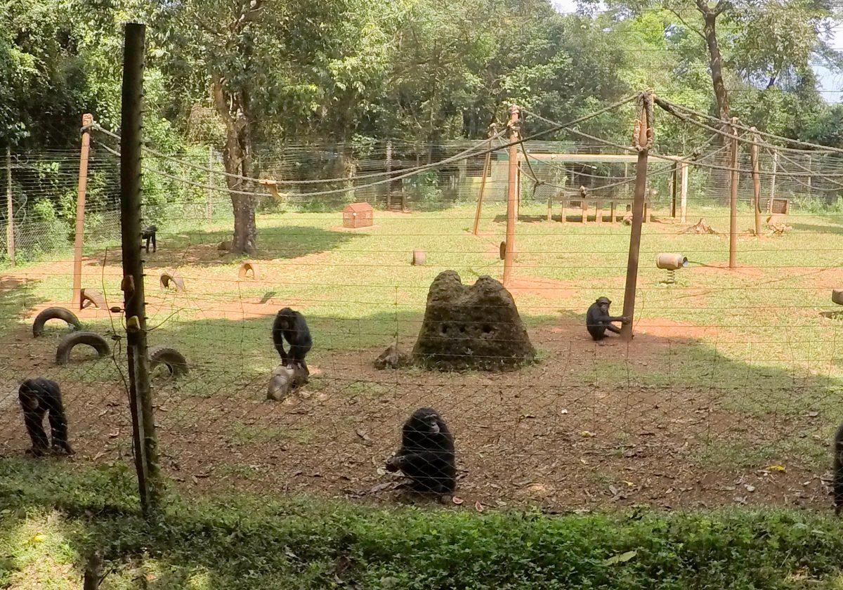 Chimps in enclosure