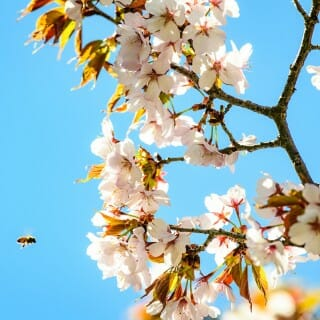 A bumble bee approaches crabapple tree flowers